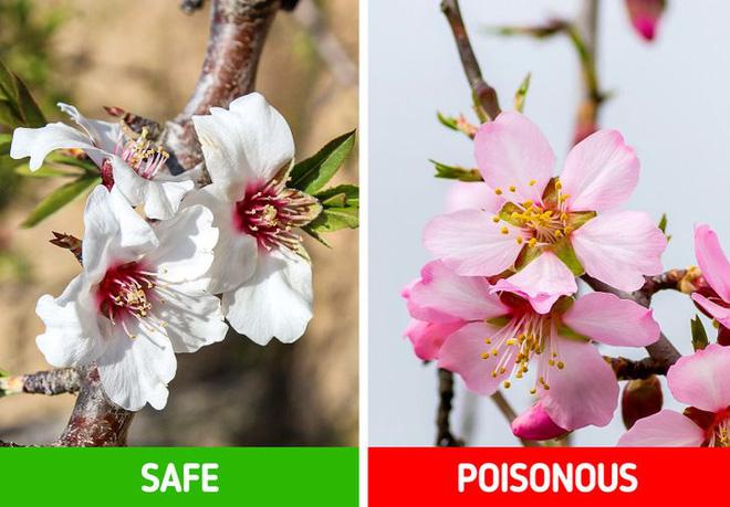 9 loài thực vật luôn khiến con người nhầm lẫn tai hại: Loại thì ăn được, loại lại có độc và cần né xa - Ảnh 5.
