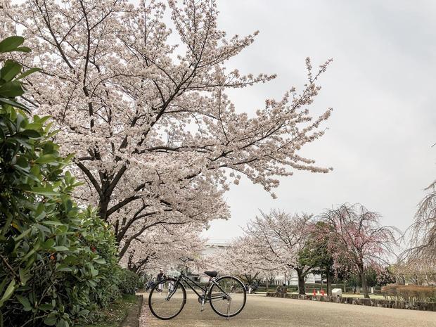 Có một mùa hoa anh đào Nhật Bản đẹp đến tan chảy qua ống kính của du học sinh người Việt: Một khi đã xem thì chẳng thể rời mắt được - Ảnh 14.