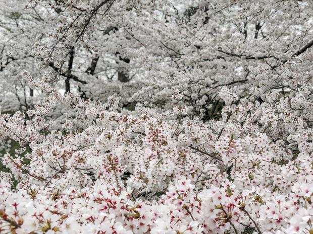 Có một mùa hoa anh đào Nhật Bản đẹp đến tan chảy qua ống kính của du học sinh người Việt: Một khi đã xem thì chẳng thể rời mắt được - Ảnh 7.