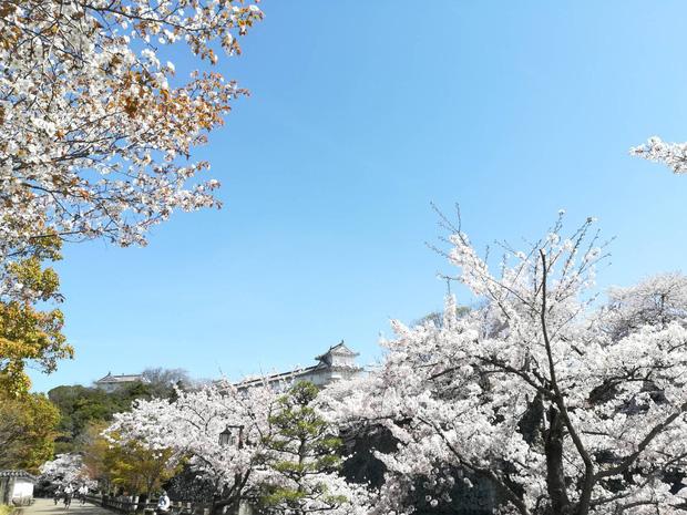 Có một mùa hoa anh đào Nhật Bản đẹp đến tan chảy qua ống kính của du học sinh người Việt: Một khi đã xem thì chẳng thể rời mắt được - Ảnh 8.