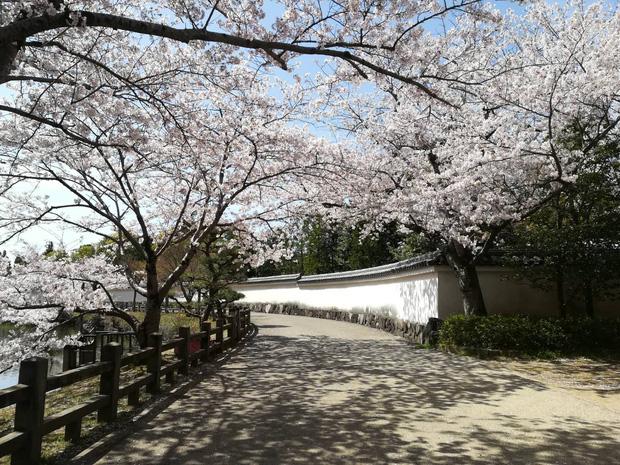 Có một mùa hoa anh đào Nhật Bản đẹp đến tan chảy qua ống kính của du học sinh người Việt: Một khi đã xem thì chẳng thể rời mắt được - Ảnh 9.