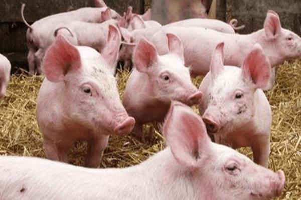 Khó khăn bủa vây ngành chăn nuôi lợn toàn cầu - Ảnh 2.