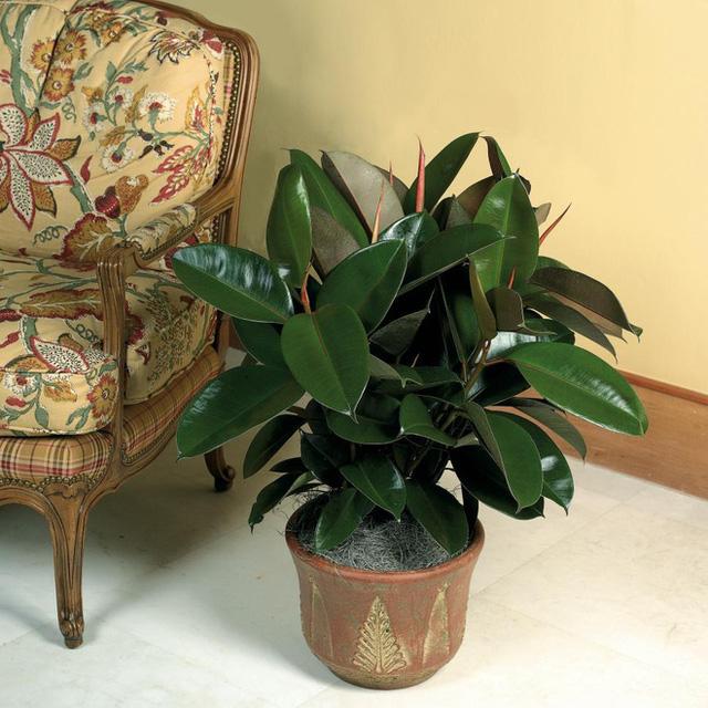 10 loại cây phong thủy tốt nhất cho phòng ngủ vì khả năng lọc không khí, giúp gia chủ phát tài lộc - Ảnh 6.