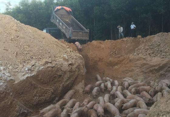 Tiêu hủy gần 1.000 con lợn nhập khẩu bị nhiễm dịch tả lợn châu Phi - Ảnh 1.