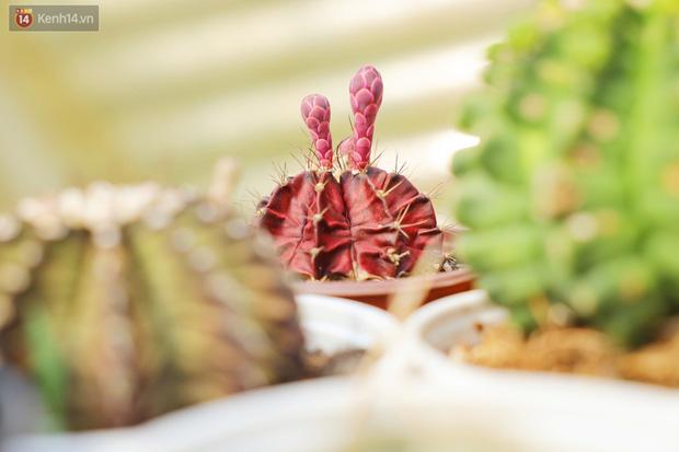 Hoa mắt với vườn xương rồng hơn 10.000 cây của chú Phúc miền Tây: Có loại sống đến năm 30 tuổi mới ra hoa rồi chết - Ảnh 15.