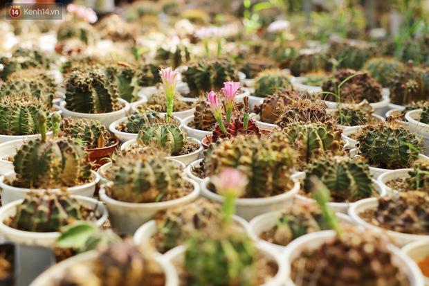 Hoa mắt với vườn xương rồng hơn 10.000 cây của chú Phúc miền Tây: Có loại sống đến năm 30 tuổi mới ra hoa rồi chết - Ảnh 18.