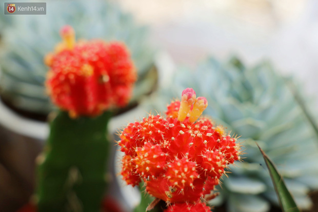 Hoa mắt với vườn xương rồng hơn 10.000 cây của chú Phúc miền Tây: Có loại sống đến năm 30 tuổi mới ra hoa rồi chết - Ảnh 10.