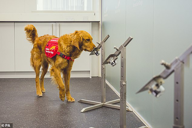 Biệt đội chó săn Covid-19: Kết quả đáng kinh ngạc, phát hiện virus nhanh hơn test nhanh - Ảnh 1.