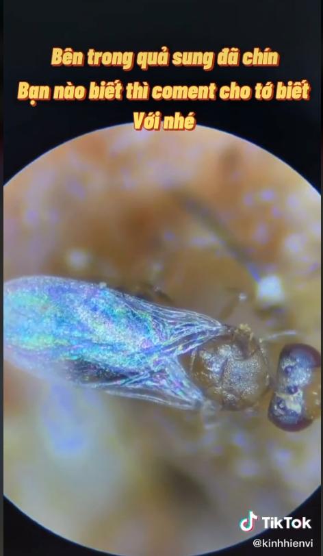 Soi quả sung dưới kính hiển vi: Sự thật có thể khiến bạn rùng mình và 4 nhóm người không nên ăn sung kẻo làm tổn thương sức khỏe - Ảnh 3.