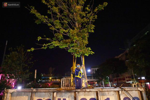 Ảnh: Di dời hàng cây phong lá đỏ trên 2 tuyến phố Hà Nội ngay trong đêm - Ảnh 8.