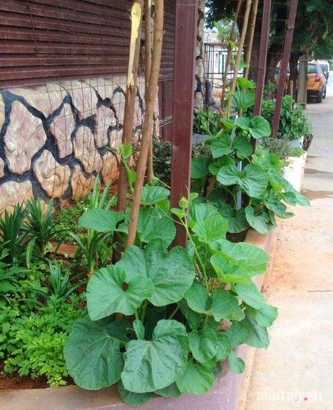 Khu vườn trước cửa xanh mát với đủ loại rau củ của chàng trai Việt ở châu Phi - Ảnh 11.