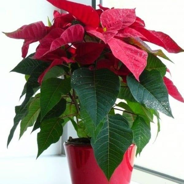 Đừng dại mà trồng những loại cây này trong nhà: Vừa không hợp phong thuỷ, vừa có nguy cơ bị điếc hoặc bị ngộ độc dẫn đến tử vong - Ảnh 3.