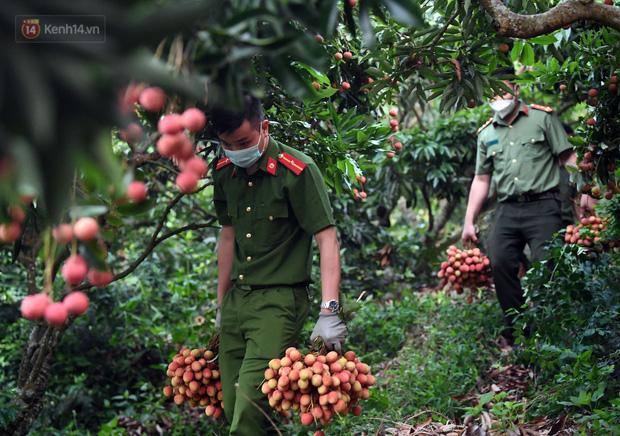 Ảnh: Công an huyện Lục Ngạn, Bắc Giang chung tay thu hoạch vải cùng bà con ngay từ đầu vụ - Ảnh 13.