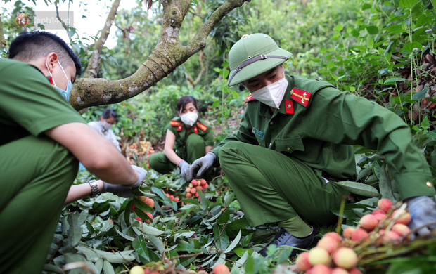 Ảnh: Công an huyện Lục Ngạn, Bắc Giang chung tay thu hoạch vải cùng bà con ngay từ đầu vụ - Ảnh 8.