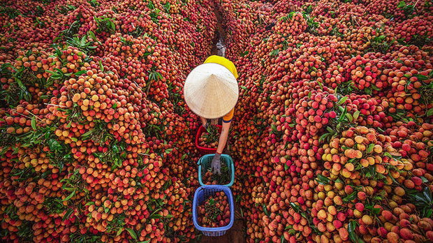 Vải thiều Việt Nam được nhiều quốc gia mê tít: Xuất khẩu hàng nghìn tấn, giá bán có thể lên tới 550k/kg - Ảnh 1.