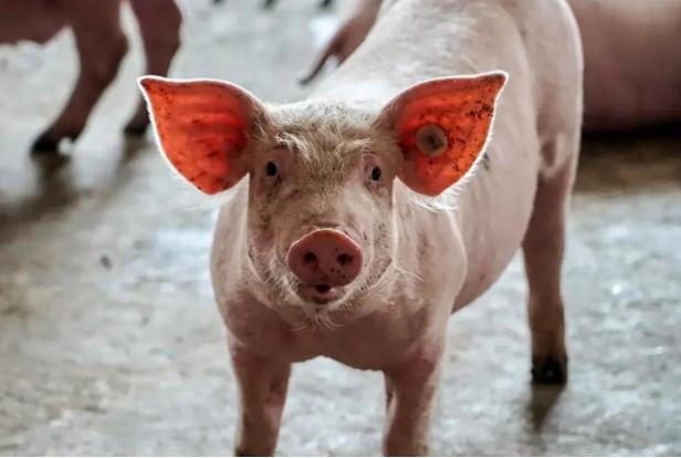 Khủng hoảng ngành chăn nuôi lợn ở Trung Quốc: Nông dân làm gì cũng lỗ - Ảnh 1.