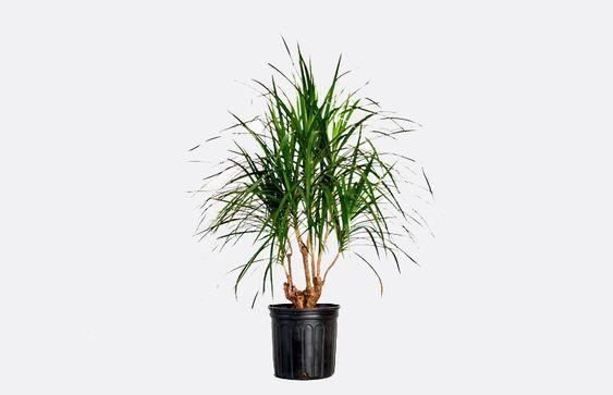 7 loại cây cảnh dù bỏ bê vẫn tươi tốt: Loại hấp thụ chất độc, loại mang may mắn cho gia chủ - Ảnh 3.