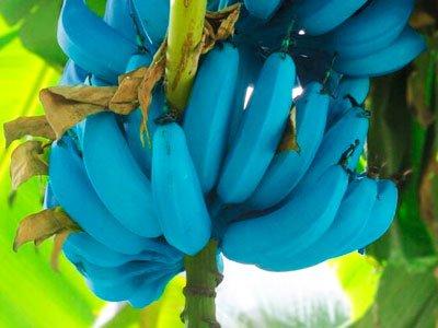 Giống chuối xanh biếc kì lạ tưởng chỉ là photoshop nào ngờ có thật 100%, lại còn được trồng ở rất gần Việt Nam - Ảnh 6.