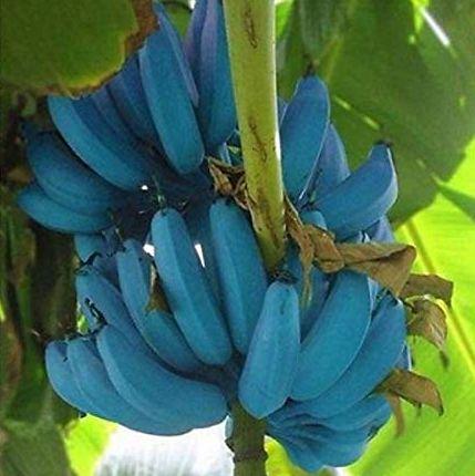 Giống chuối xanh biếc kì lạ tưởng chỉ là photoshop nào ngờ có thật 100%, lại còn được trồng ở rất gần Việt Nam - Ảnh 7.