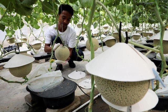 Thấy quá đắt khi phải chi 200 USD cho quả dưa lưới giống Nhật, 3 người nông dân Malaysia mày mò cách trồng và đã thành công: Dưa được thư giãn bằng nhạc cổ điển, mát-xa mỗi ngày  - Ảnh 4.