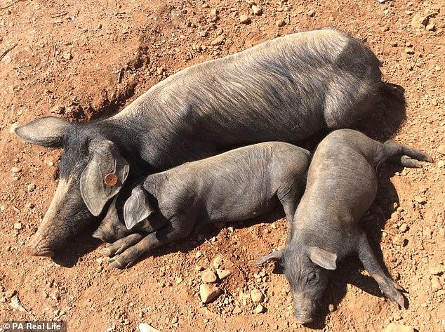 Thu nhập đang 1,3 tỷ VNĐ/năm, doanh nhân 58 tuổi bỏ phố về quê sống trong căn nhà không điện nước giữa núi rừng hoang vu, kiếm sống bằng nghề nuôi lợn - Ảnh 6.