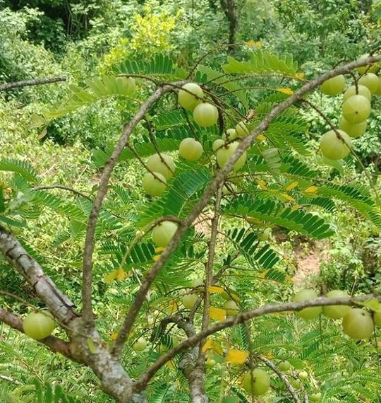 """Quả hoang mọc đầy rừng giờ được """"lùng mua"""" nửa triệu đồng/kg vừa là quà vặt của chị em vừa chữa cao huyết áp, giảm tiểu đường - Ảnh 1."""