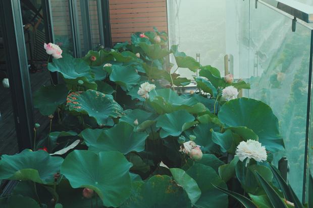 Cặp vợ chồng trẻ trồng sen trên căn penthouse tầng 30: Nhìn thành quả ai ai cũng ngỡ ngàng và ngưỡng mộ - Ảnh 3.