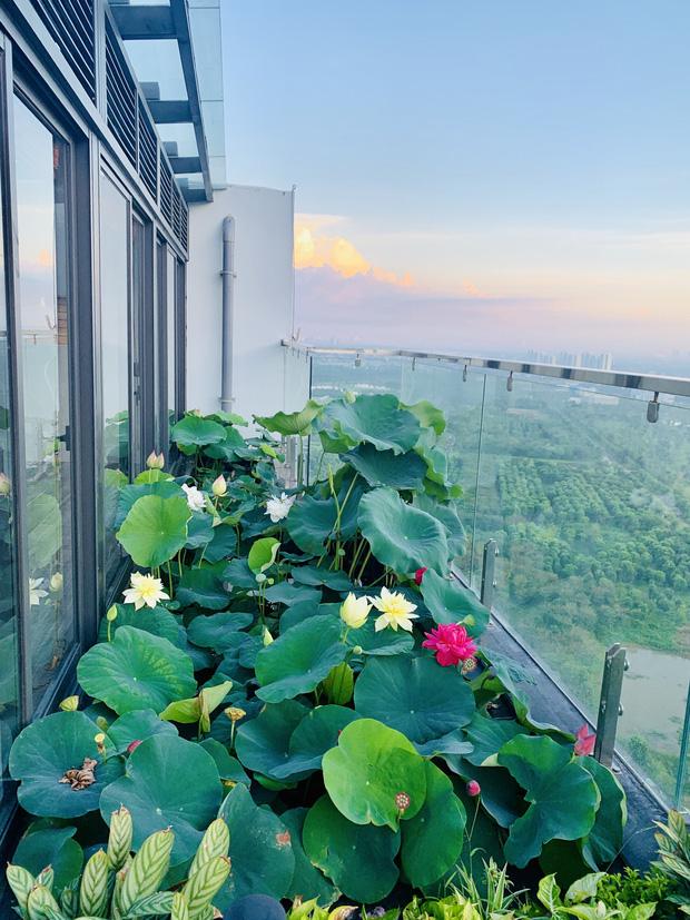 Cặp vợ chồng trẻ trồng sen trên căn penthouse tầng 30: Nhìn thành quả ai ai cũng ngỡ ngàng và ngưỡng mộ - Ảnh 4.
