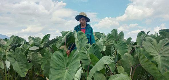Đắk Lắk: Gần 100 tấn khoai môn 'tắc' đầu ra, huyện kêu gọi giải cứu - Ảnh 1.