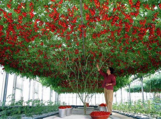 Lóa mắt với giống cà chua cho quả chi chít đỏ rực khắp giàn, lập kỷ lục thế giới với 32.000 quả một vụ - Ảnh 1.