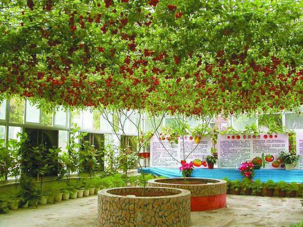 Lóa mắt với giống cà chua cho quả chi chít đỏ rực khắp giàn, lập kỷ lục thế giới với 32.000 quả một vụ - Ảnh 2.