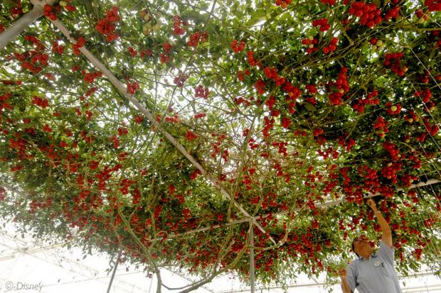 Lóa mắt với giống cà chua cho quả chi chít đỏ rực khắp giàn, lập kỷ lục thế giới với 32.000 quả một vụ - Ảnh 3.