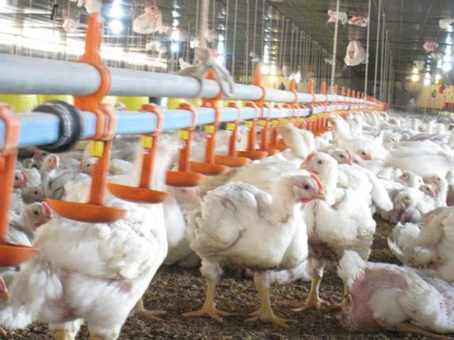 Giá gà xuống thấp kỷ lục trong lịch sử chăn nuôi, bán mỗi con hơn 2,5kg chỉ 12.000 đồng - Ảnh 1.