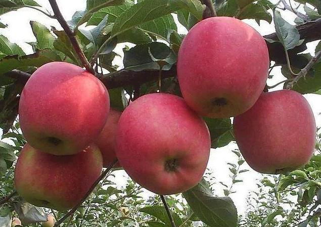 Ăn táo có tốt không? Câu trả lời của là CÓ nếu bạn biết 6 điều CẤM KỴ này và 4 tác dụng phụ khi ăn quá nhiều loại quả này - Ảnh 4.