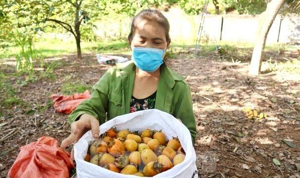 Vựa hồng lớn nhất Nghệ An vào mùa thu hoạch - Ảnh 7.
