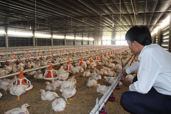 Gần 10 triệu con gà quá tuổi vẫn chưa xuất chuồng, Bộ NN&PTNT nói gì?  - Ảnh 1.