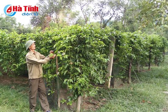 Ông Phùng Xuân Công (thôn Tân Lộc) khẳng định, ở xã Tân Hương, chưa có loại cây nào có giá trị kinh tế bằng cây chanh leo.