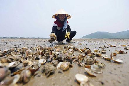 Hơn 10 tấn ngao đã chết trắng, nhiều đầm nuôi ở Hà Tĩnh số lượng chết lên tới 90%.