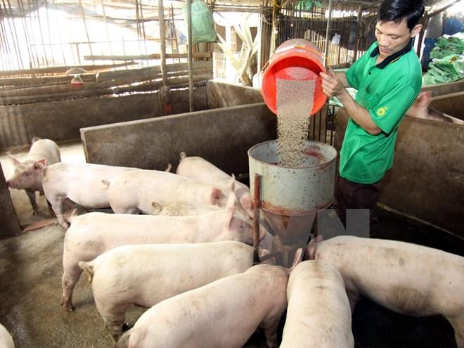 Nuôi lợn thịt sử dụng thức ăn bổ sung men vi sinh ở Vĩnh Phúc. (Ảnh: Vũ Sinh/TTXVN)