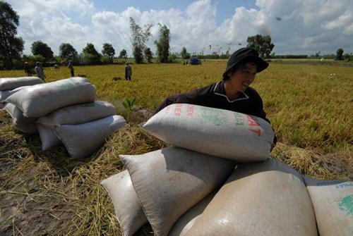 Xuất khẩu gạo hàng đầu thế giới, nhưng thu nhập của nông dân Việt Nam ở mức rất thấp. Ảnh: Phương Chăm