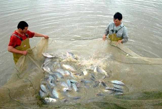 Bộ NN-PTNT đã có quyết định đưa cá rô phi vào danh sách đối tượng nuôi chủ lực trong thời gian tới