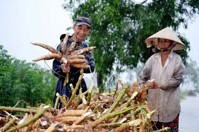 Nông dân xã Tam Thăng dầm mưa thu hoạch sắn - Ảnh: LÊ TRUNG