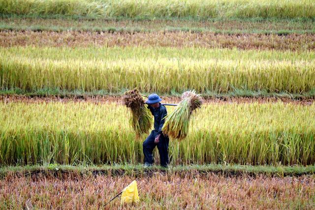 Nông dân Quảng Nam gặt lúa chạy bão - Ảnh: LÊ TRUNG