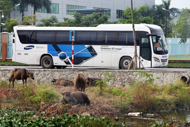 Xe buýt của Samsung chở công nhân đến nhà máy. Ảnh: Bloomberg.
