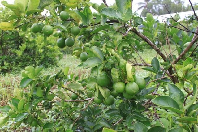 Chanh không hạt có tên gọi tiếng anh là Persian Lime. Đặc điểm của cây chanh không hạt là cây không gai, thích hợp và sinh trưởng tốt với khí hậu Việt Nam. Hoa chanh không hạt mọc thành chùm, cánh hoa có màu trắng, dạng quả hơi dài, có vị chua và thơm.(Ảnh: Zing)