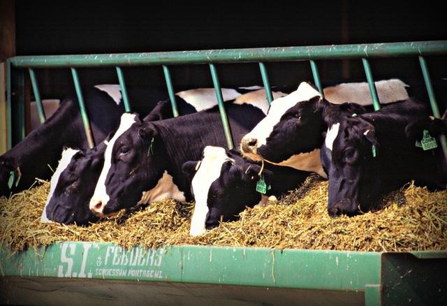 Giống bò sữa Holstein.
