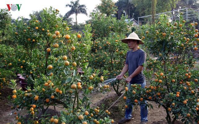 Vườn Quất của ông Quang có 500 cây, 40% số cây này cũng không thể đợi đến dịp Tết Nguyên Đán.