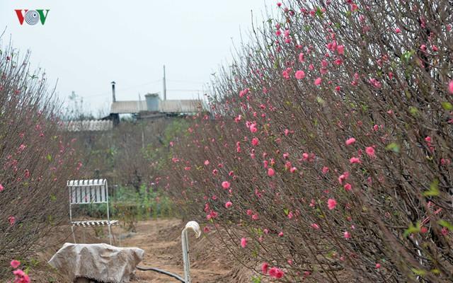 Trong khi đó, các gốc Đào Tết cũng rơi vào cảnh hoa nở sớm.
