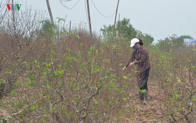 Các chủ vườn phải dùng các kỹ thuật hãm sự ra hoa như: tuốt lá, khoét thân...