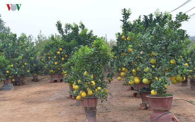 Đào Quất Tết đang phải chịu đựng thời tiết khắc nghiệt ở Hà Nội có thể khiến nhiều chủ vườn thất thu, tuy nhiên, Bưởi cảnh lại được mùa.